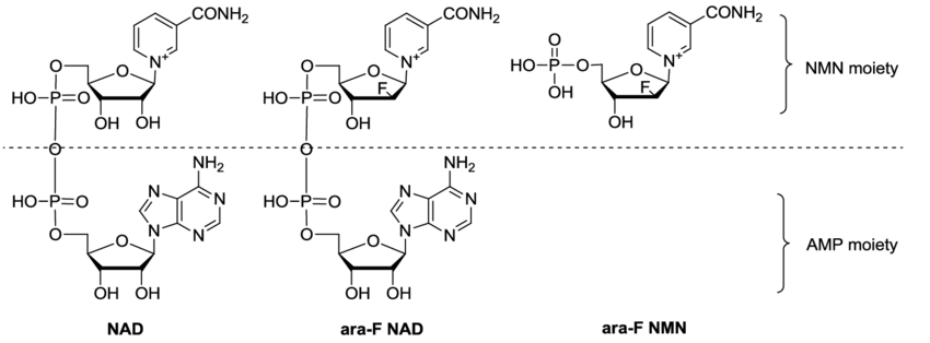 How NMN Improves Cognition?